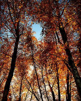 Autumn tree by Niki Mastromonaco