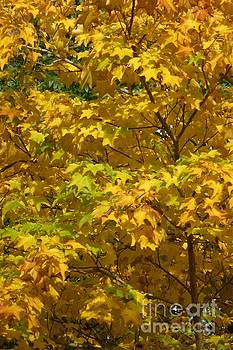 Autumnal Leaves and Trees 1 by Jean Bernard Roussilhe