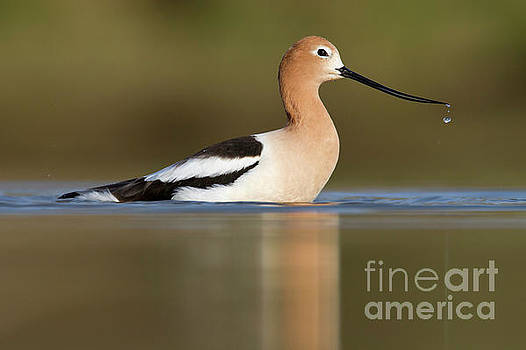 Avocet cooling off by Bryan Keil