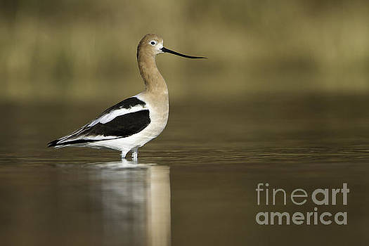 Avocet looking pretty by Bryan Keil