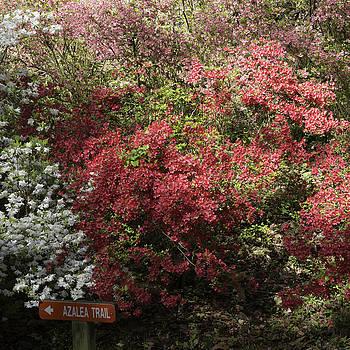 Teresa Mucha - Azalea Trail at Happy Hollow Gardens Squared
