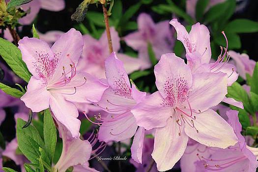 Azaleas in Pink  by Jeannie Rhode Photography