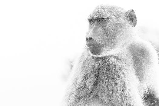 Baboon by Jose Vazquez
