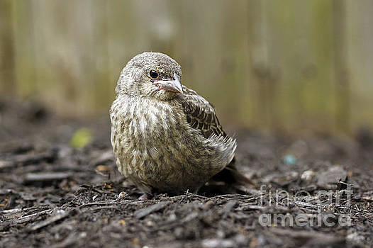 Baby Bird by Denise Pohl