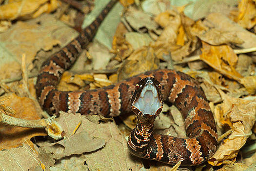 Baby Cottonmouth by Dan Lease