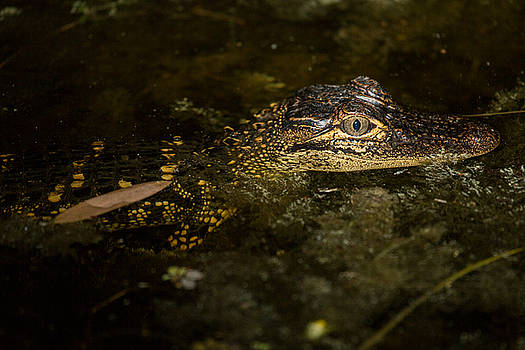 Baby Gator by Brent L Ander
