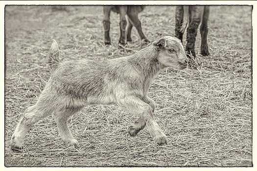 LeeAnn McLaneGoetz McLaneGoetzStudioLLCcom - Baby Goat on the run Monochrome