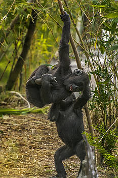 Baby Gorillas horseplaying 2 by Tito Santiago