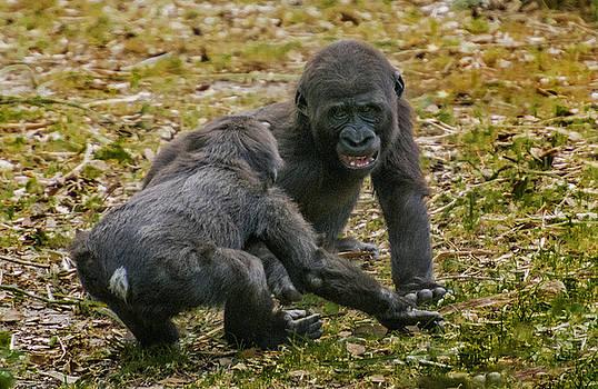 Baby Gorillas horseplaying by Tito Santiago