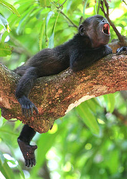 Baby Howler Monkey by Nathan Miller