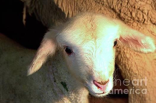 Baby Lamb by Carole Martinez
