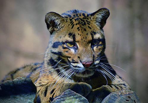 Baby Leopard by Savannah Gibbs