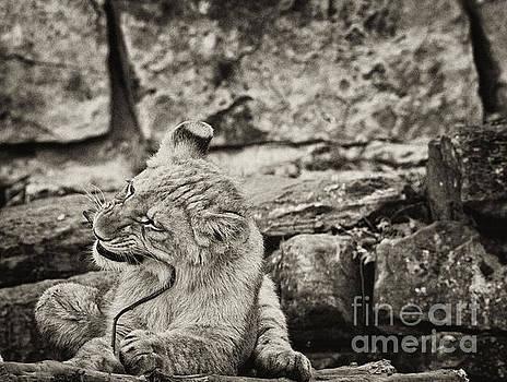 Baby Lion by Douglas Barnard