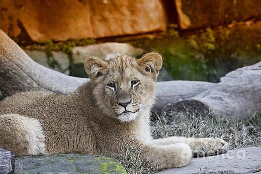 Baby Lion V2 by Douglas Barnard