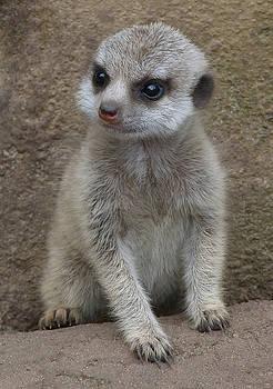 Baby Meerkat Views His World  by Margaret Saheed