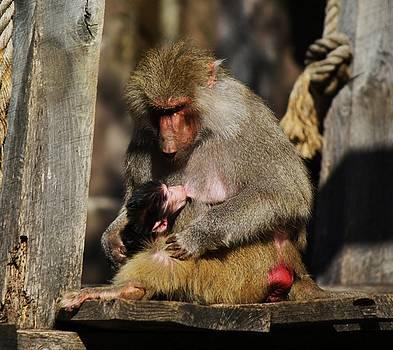 Paulette Thomas - Baby Monkey Nursing
