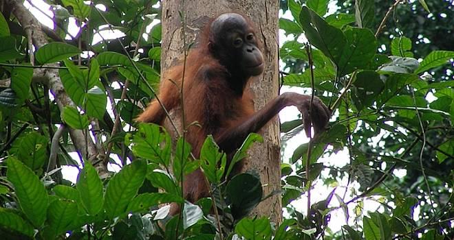 Baby Orangutan by Alessia Orlandi