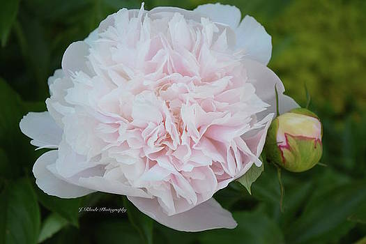 Baby Pink Peony by Jeannie Rhode Photography