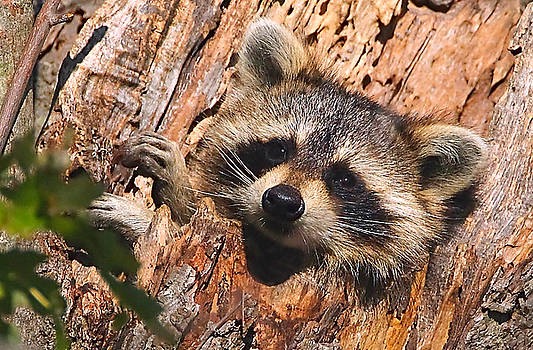 Baby Raccoon by William Jobes