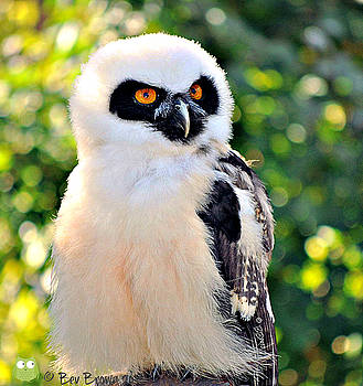 Baby Spectacled Owl by Bev  Brown