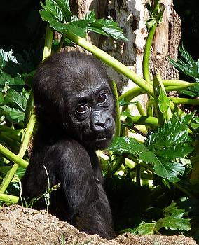 Baby Western Lowland Gorilla by Margaret Saheed