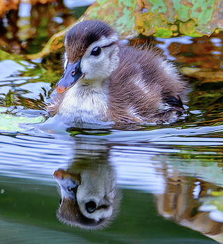 Baby WOod Duck by Jerry Cahill