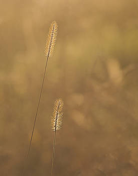 Backlight grass stalks by Barry Culling