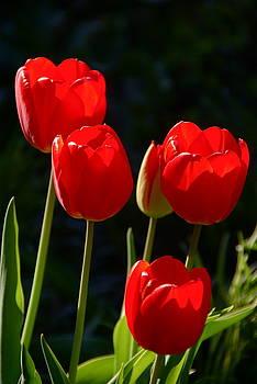 Byron Varvarigos - Backlit Red Tulips