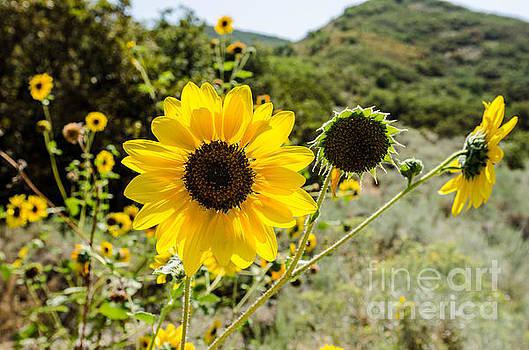 Backlit Sunflower aka Helianthus by Sue Smith