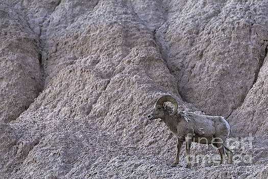Badlands BigHorn by Natural Focal Point Photography