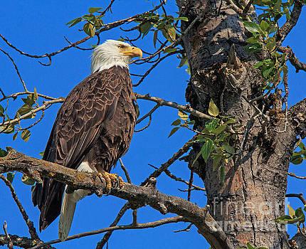 Bald Eagle 1 by Robert Pilkington