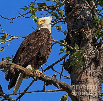 Bald Eagle 2 by Robert Pilkington