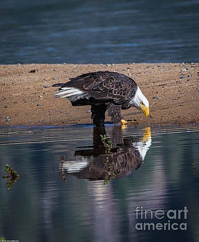 Bald Eagle And Reflection by Mitch Shindelbower