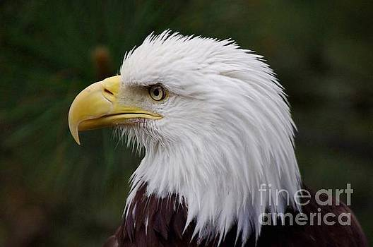 Bald Eagle Beauty by Deniece Platt