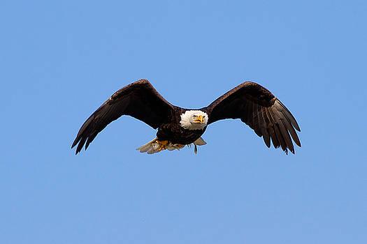 Bald Eagle by Greg Gard