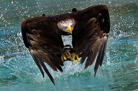 Bald eagle in flight by Dean Bertoncelj