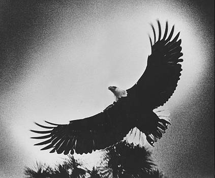 Bald eagle by Jim Wright