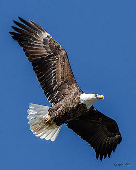 Bald Eagle Over The Beach by Stephen Johnson