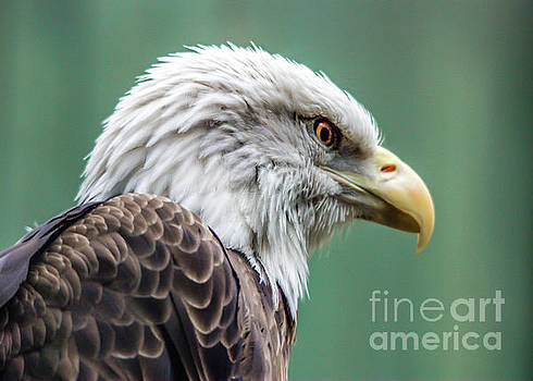 Bald Eagle - Vermont by John Greco