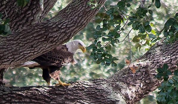 Bald Eagle by Victoria Dietz