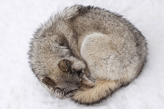 Ball of Wolf by Eunice Gibb