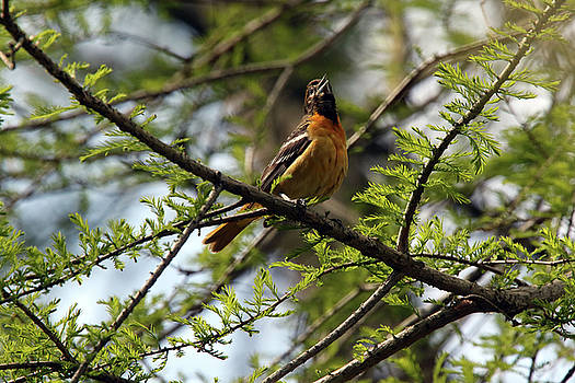 Baltimore Oriole Female by David Yunker