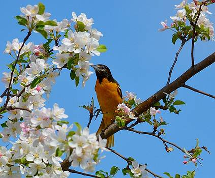 Baltimore Oriole I by Sheila Price