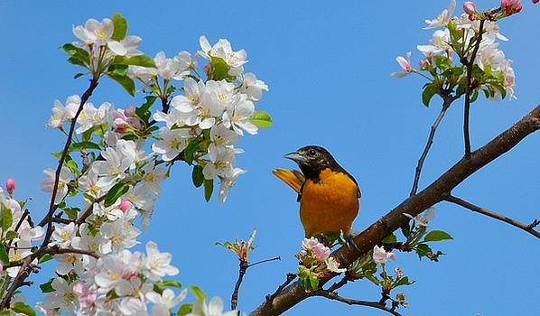 Baltimore Oriole II by Sheila Price