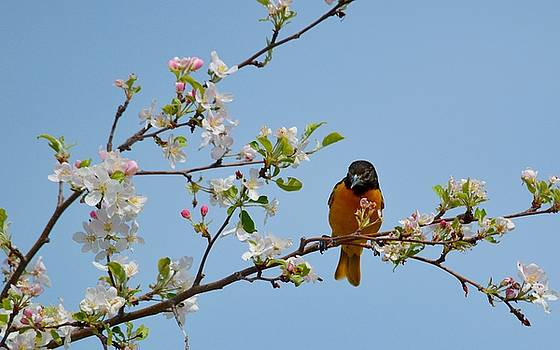 Baltimore Oriole III by Sheila Price
