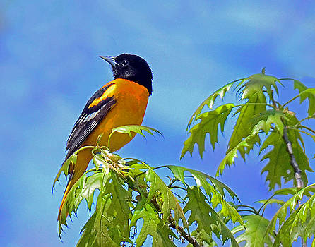Baltimore Oriole in an Oak Tree by Rodney Campbell