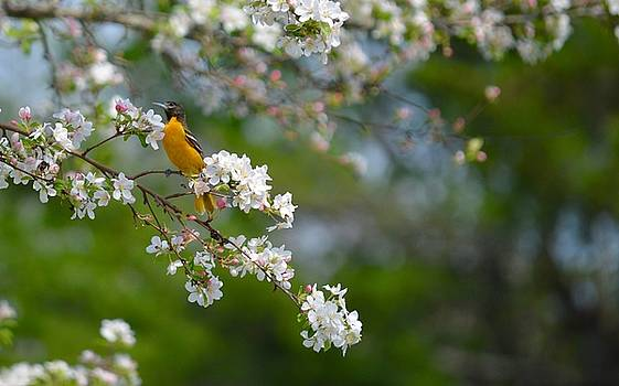 Baltimore Oriole In the  Blossoms by Sheila Price