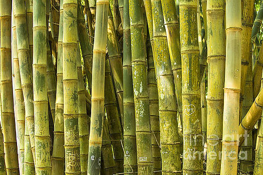 Patricia Hofmeester - Bamboo