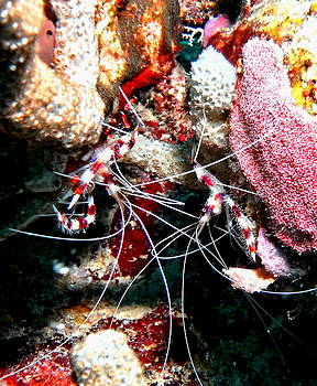 Banded Coral Shrimp - Caught in the Act by Amy McDaniel