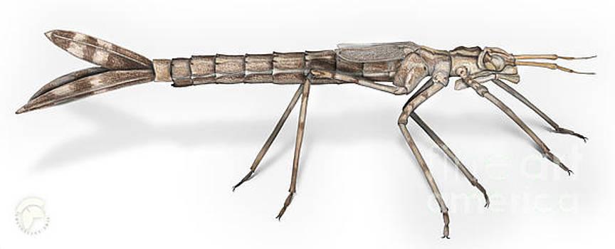 Banded Demoiselle Dragonfly Larva Nymph - Calopteryx splendens - by Urft Valley Art